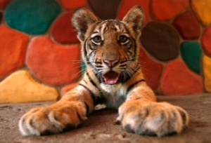 A Bengal Tiger cub is seen at a zoo in Puerto Vallarta